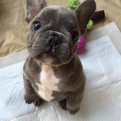 Puppy eyes @sterlingthewiseking 😍 ❤️ #frenchies #bouledogue #frenchie #frenchbull #frenchiepuppy #frogdog