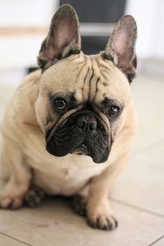 Tan French Bulldog.