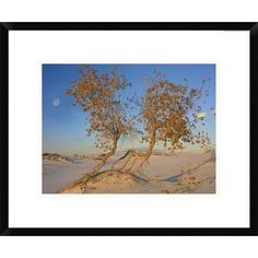 Global Gallery Fremont Cottonwood Trees, White Sands National Monument, New Mexico by Tim Fitzharris Framed Photographic Print Size: