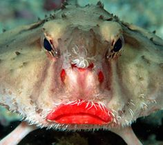looks like this fish has had some plastic surgery. It's called the rosy lip bat fish