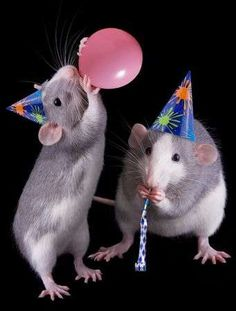 Photo about Two rat sisters are throwing a party-- one is blowing up a balloon. Image of furry, holiday, balloon - 10559703 Baby Animals, Funny Animals, Cute Animals, Rata Dumbo, Rats Mignon, Photos Free, Funny Mouse, Fancy Rat, Cute Rats