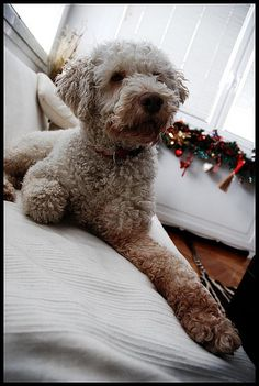 Lagotto Romagnolo. Spent the weekend with one of these - what lush doggies they are!!