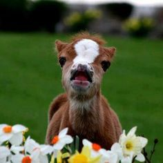 DDO:) MOST POPULAR RE-PINS - http://www.pinterest.com/DianaDeeOsborne/gorgeous-horses-more/ - GORGEOUS HORSES AND MORE. Tiny baby horse - filly? colt? excitedly checking out the potential breakfast of daffodil yellow and orange flowers, with a white trumpet jonquil. Notice the soft tufts of this curious babe's mane. Its snowy white blaze fills its cute little face!