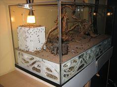 Camponotus fellah - Haltungserfahrungen : Camponotus (exotisch) - 6