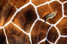 Red-billed oxpecker clings to the side of a reticulated giraffe, Samburu National Reserve, Kenya Please call or em. Art Wolfe, Amazing Photography, Art Photography, Red Bill, Tier Fotos, Patterns In Nature, Bird Species, Artist Art, Animal Print Rug