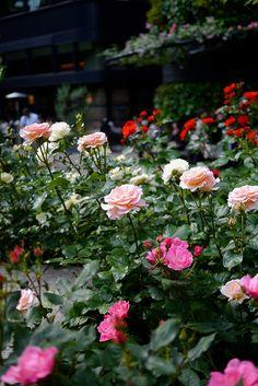 Rose garden #3 by Yorkey, via Flickr