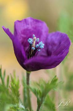 Amapola violeta