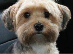 Learn all about the Maltese Yorkie mix or Morkie. Find out what real owners of Morkie dogs have to say and view adorable Morkie pictures. Havanese Haircuts, Havanese Grooming, Dog Haircuts, Havanese Puppies, Terrier Puppies, Dog Grooming, Terriers, Dog Hairstyles, Poodle Puppies