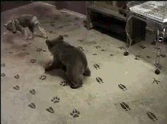 Urși Bruni