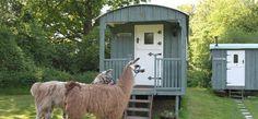 Llamas outside Gabriel in Kent