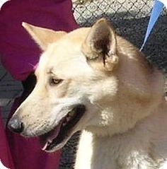 Yucaipa, CA - German Shepherd Dog. Meet SCOOBY, a dog for adoption. http://www.adoptapet.com/pet/13997433-yucaipa-california-german-shepherd-dog