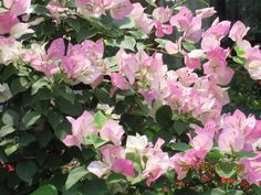 Bougainvillea make great garden plants. Gardeners are always on the lookout for great gardening tips and ideas