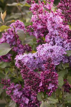 Old Glory Lilac - Monrovia - Old Glory Lilac.New cultivar, rather disease resistant. Beautiful deep green/ burgundy foliage, and deep purple flowers. Very fragrant! Lilac Flowers, Pretty Flowers, Lilac Varieties, Lilac Plant, Front Yard Plants, Monrovia Plants, Lilac Bushes, Syringa, Plant Catalogs