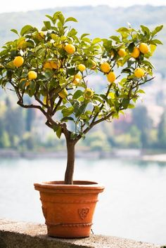 Growing Tomatoes In Pots Guide to growing a lemon tree in a container. - Tangy and sour, lemon adds flavor in every cuisine. Learn how to grow a lemon tree in pot in this informative article Lemon Tree Potted, Citrus Trees, Potted Trees, Citrus Fruits, Indoor Lemon Tree, Growing Tomatoes From Seed, Growing Tomatoes In Containers, Grow Tomatoes, Lemon Tree From Seed
