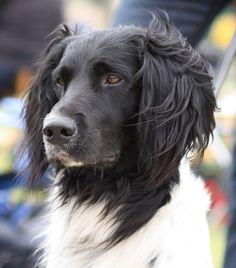 Large Munsterlander. Looks like Boo's                   Munsterlander dog  looks like spooky's head!