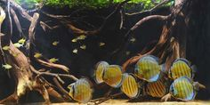 aquascape idea -- Symphysodon aequifasciata haraldi: blue discus