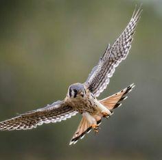 Falcon Tattoo, Falcon Hawk, American Kestrel, Birds Of Prey, Raptors, Falcons, Hawks, Feathers, Wings