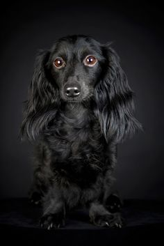 Black Dachshund - unusual coloring.  Beautiful!