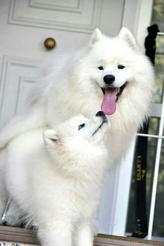 Always smiling Happy Animals, Animals And Pets, Funny Animals, Cute Animals, Samoyed Dogs, Pet Dogs, Dog Cat, Doggies, Beautiful Dogs