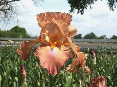 Dodge City Tall Bearded Iris
