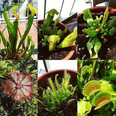 #piantacarnivora #dionaea #drosera #sarracenia #dionaeamuscipula #venusflytrap #carnivoroustagram #carnivorusplants #carnivorusplant #carnivores #pitcherplants #plantporn #savageplants #plantswhitbite #nature #instagram #instagood #instaphoto #instafollow #instacollage #photo #photooftheday #pic #pics #picoftheday #like #like4like #likeforlike #liker #follow by sacco6684
