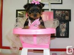 cheap-teacup-yorkie-puppies-for-adoption_7169895.jpg