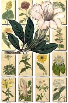 FLOWERS-10 Collection of 246 vintage images Alpinia Dahlia