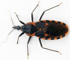 Assassin bug, or kissing bugs, carry Chagas disease.