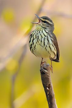 Perched Singing Northern Waterthrush by Scott Grant  | Flickr