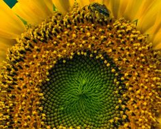 A look at sunflower secrets.The bee was staggering, as if drunk with pollen.