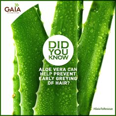 Wonder why those random grey hairs keep sprouting? Premature grey hair is caused due to a deficiency of Vitamin B-12. A capsule of Aloe Vera a day will restore the lost luster of your hair. #GaiaToTheRescue #HealthTips