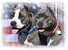 Pit Bull Dog Heros