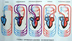 Картинки по запросу кровеносная система животных