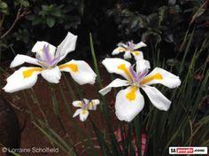 dietes-grandiflora-south-africa