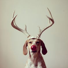 merry x-mas by Maddie the CoonHound
