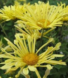 Chrysanthemum 'Mammoth Yellow Quill' photo courtesy of Paridon Horticultural
