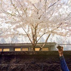 it's spring :) #sakura