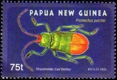 Leaf Beetle (Callistola pulchra)