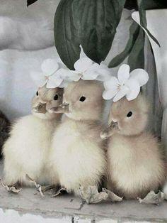 Baby ducks or ducklings.