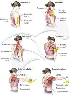 movements of the shoulder girdle | حرکت استخوان کتف به طرف بیرون از خط ...