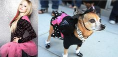 Punk outfit: Avril Lavigne Vs. This dog | Who Wore It Better: 25 Dogs VS. Celebrities