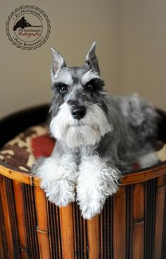 Keeping It Real by Fix Your Images Photography #Miniature #Schnauzer