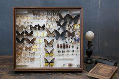 Taxidermy butterflies in a glass specimen display box.