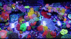 Corals, July 2014 R2R Tank Spotlight: jourdy