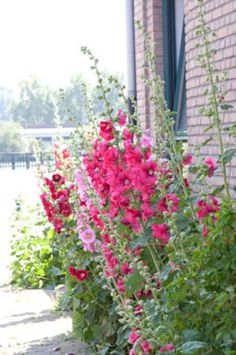 hollyhock cottage & garden ... X ღɱɧღ || Dreams are made of these ...
