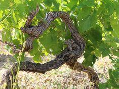 Vieux pied de vignes tortueux
