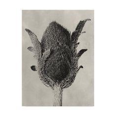 Trademark Fine Art 'Blossfeldt Botanical VI' Canvas Art by Karl Blossfeldt, Size: 35 x Black Karl Blossfeldt, Artist Canvas, Canvas Art, Papaver Orientale, Natural Form Art, Gray Background, Art Forms, Poppies, Art Decor