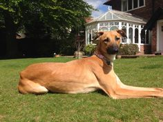 Daisy the Lurcher- Gorgeous