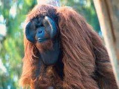 Borneose orang-oetan. G E W E L D I G