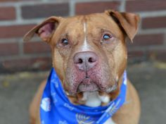 SUPER URGENT 12/2/14 Brooklyn Center   SCOOBY - A1022154   MALE, BROWN / WHITE, PIT BULL MIX, 11 yrs OWNER SUR - EVALUATE, NO HOLD Reason MOVE2NYCHA Intake condition EXAM REQ Intake Date 12/02/2014, From NY 11206, DueOut Date 12/02/2014, https://www.facebook.com/Urgentdeathrowdogs/photos/a.617942388218644.1073741870.152876678058553/918124204867126/?type=3&theater